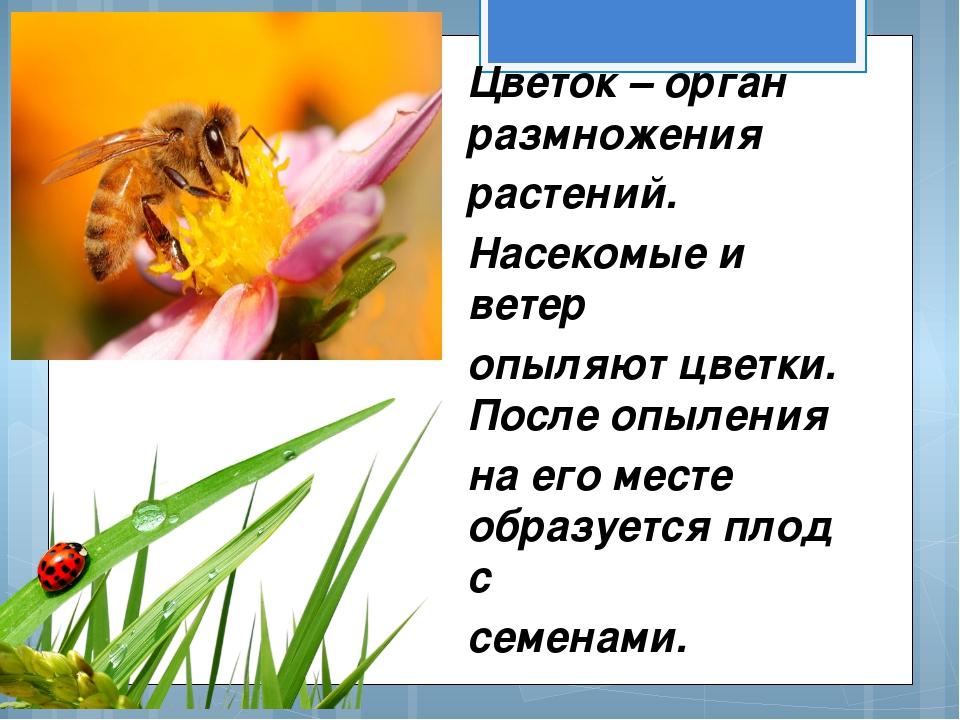 Цветок – орган размножения растений. Насекомые и ветер опыляют цветки. После...