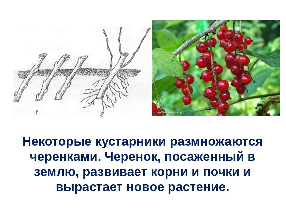 Некоторые кустарники размножаются черенками. Черенок, посаженный в землю, раз...