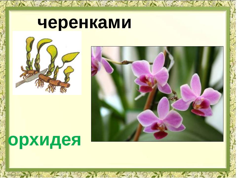 черенками орхидея
