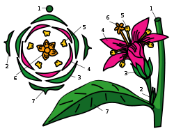 http://upload.wikimedia.org/wikipedia/commons/thumb/d/d9/Flower_diagram.svg/250px-Flower_diagram.svg.png