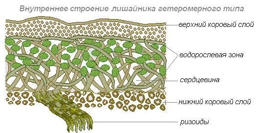 Модель внутреннего строения лишайника своими руками