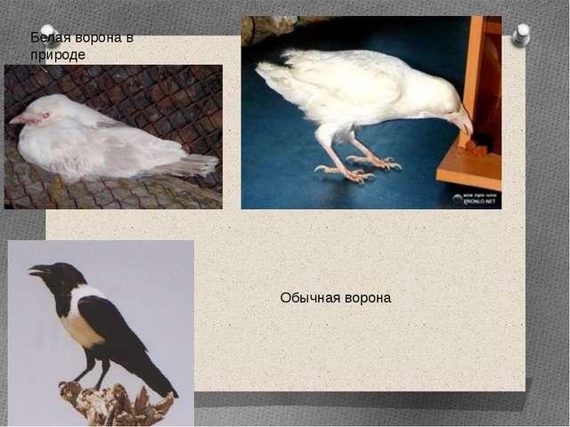 Белая ворона в природе Обычная ворона