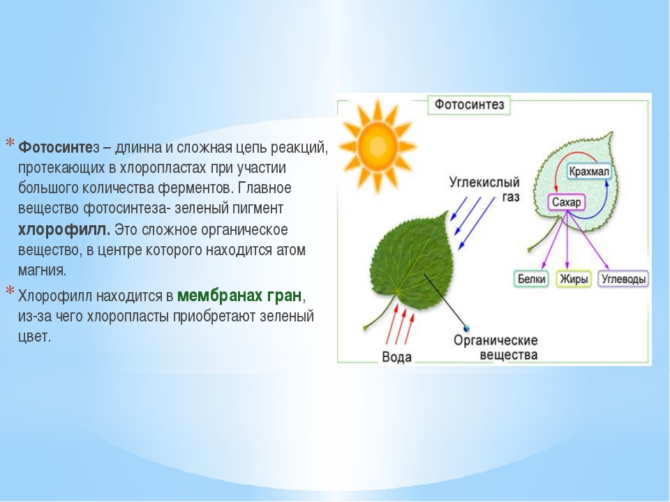 Фотосинтез – длинна и сложная цепь реакций, протекающих в хлоропластах при уч...