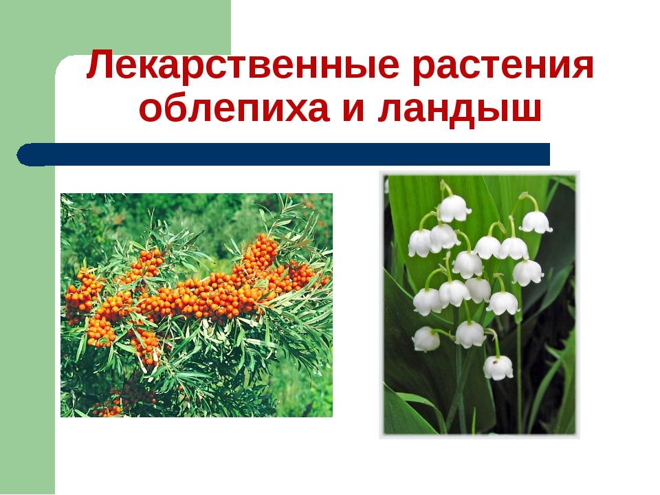 Лекарственные растения облепиха и ландыш