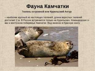 Фауна Камчатки Тюлень островной или Курильский Антур – наиболее крупный из на