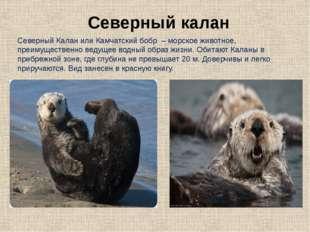 Северный Калан или Камчатский бобр – морское животное, преимущественно ведуще