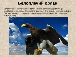 Белоплечий (Тихоокеанский) орлан – очень крупная хищная птица семейства ястре