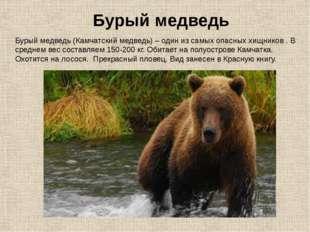 Бурый медведь (Камчатский медведь) – один из самых опасных хищников . В средн