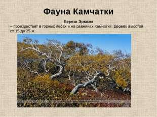 Фауна Камчатки Береза Эрмана – произрастает в горных лесах и на равнинах Камч