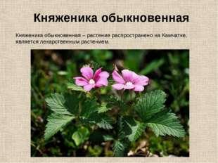 Княженика обыкновенная – растение распространено на Камчатке, является лекарс