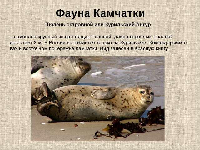 Фауна Камчатки Тюлень островной или Курильский Антур – наиболее крупный из на...