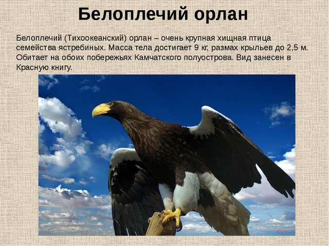 Белоплечий (Тихоокеанский) орлан – очень крупная хищная птица семейства ястре...