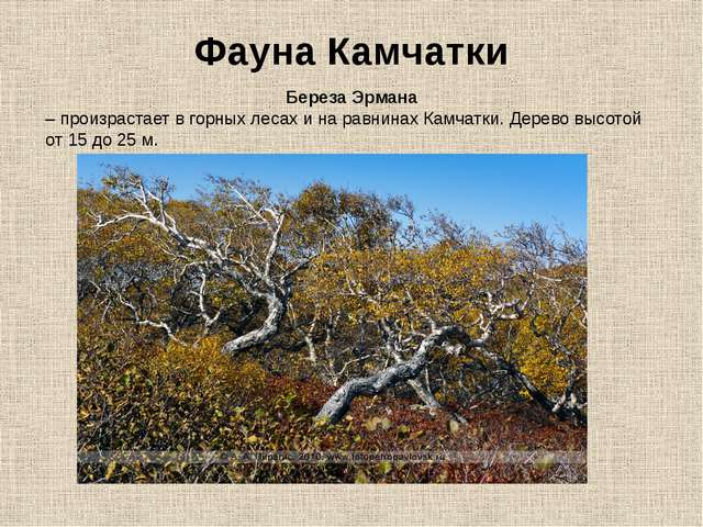 Фауна Камчатки Береза Эрмана – произрастает в горных лесах и на равнинах Камч...