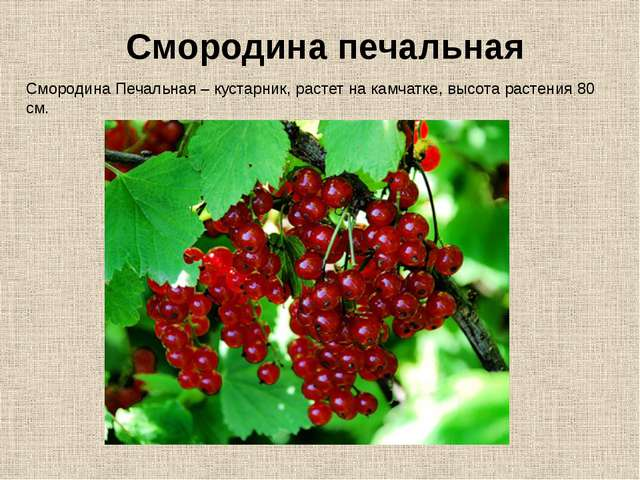 Смородина Печальная – кустарник, растет на камчатке, высота растения 80 см. С...