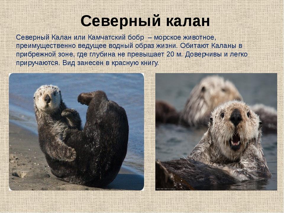 Северный Калан или Камчатский бобр – морское животное, преимущественно ведуще...