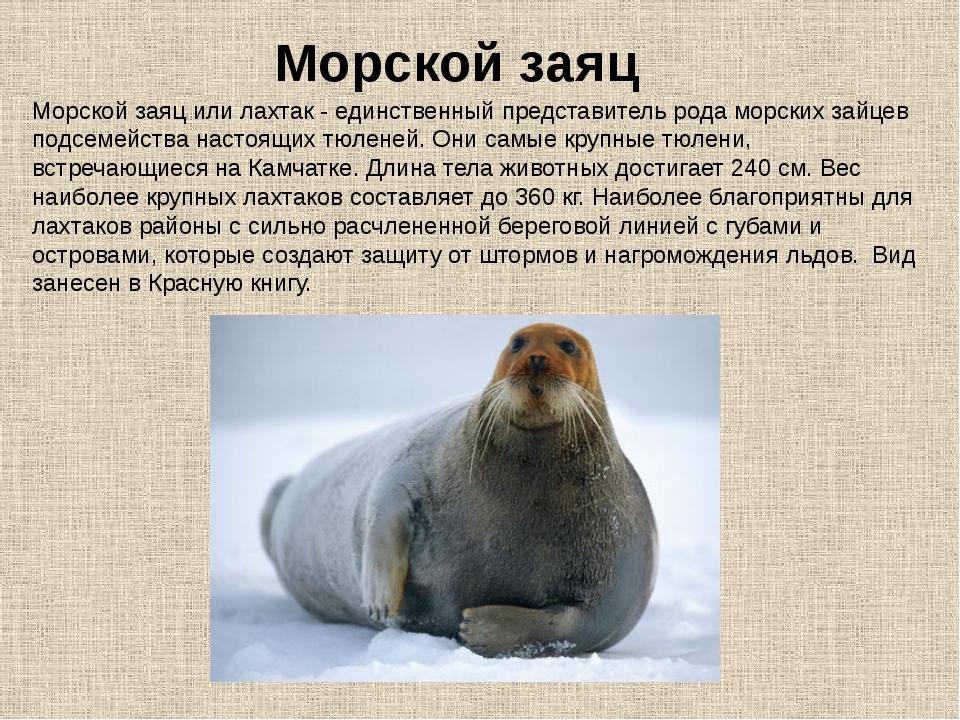 Морской заяц или лахтак - единственный представитель рода морских зайцев под...