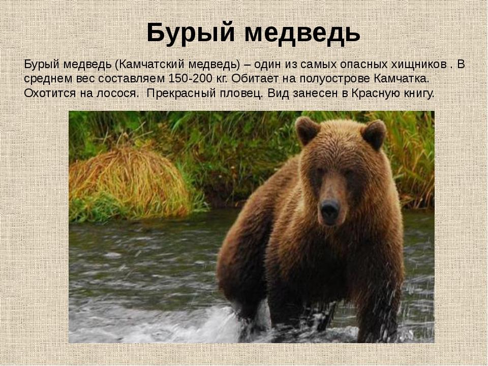 Бурый медведь (Камчатский медведь) – один из самых опасных хищников . В средн...