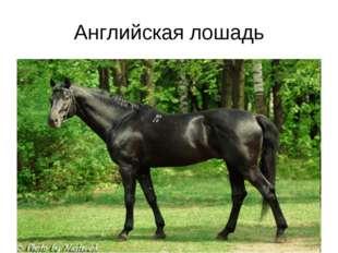 Английская лошадь