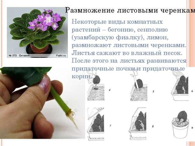 Комнатные цветы фиалки размножение