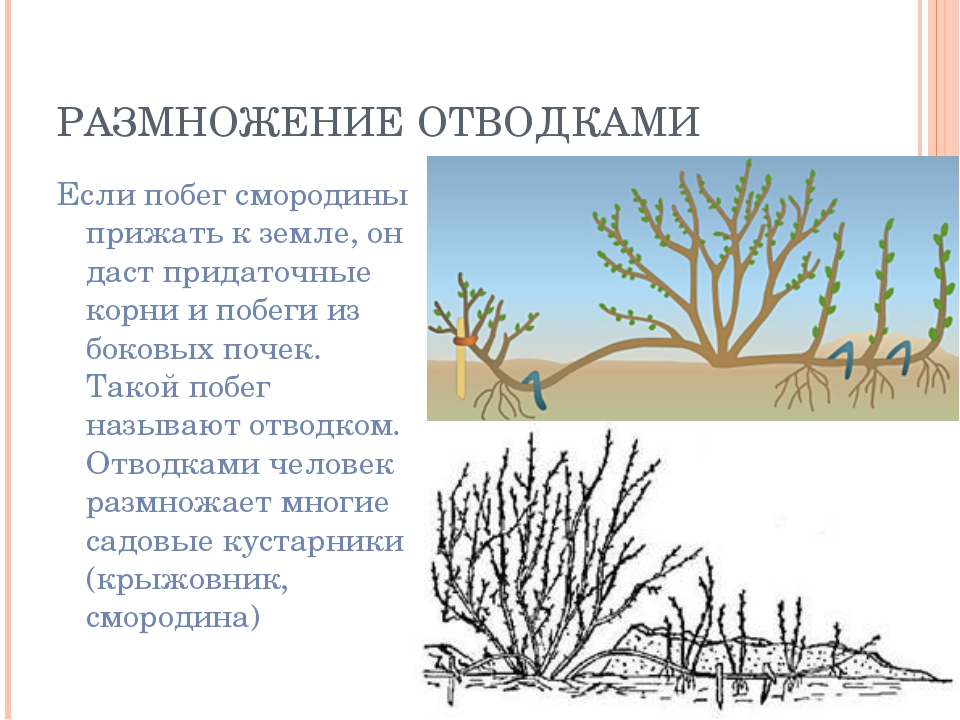 РАЗМНОЖЕНИЕ ОТВОДКАМИ Если побег смородины прижать к земле, он даст придаточн...