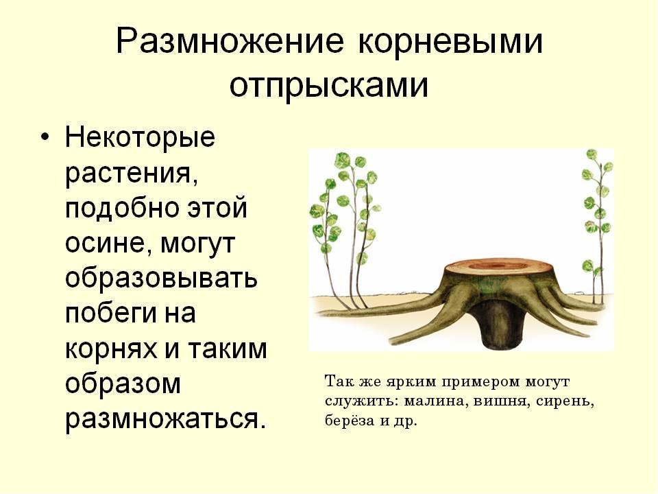 Так же ярким примером могут служить: малина, вишня, сирень, берёза и др.