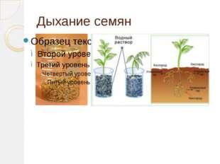 Дыхание семян