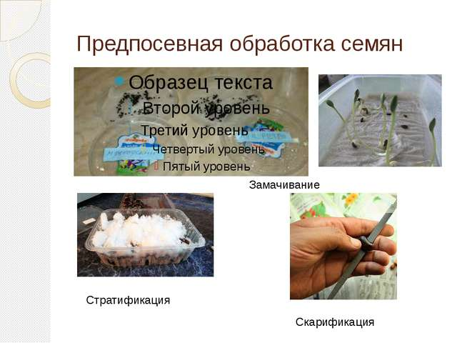 Предпосевная обработка семян Замачивание Стратификация Скарификация