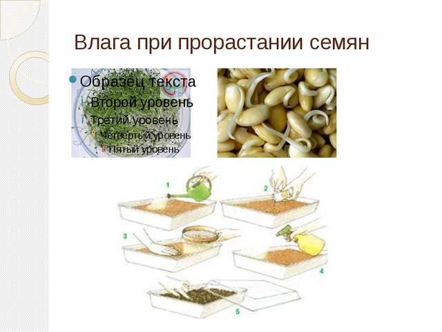 Влага при прорастании семян