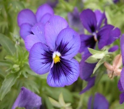 фиолетовый1