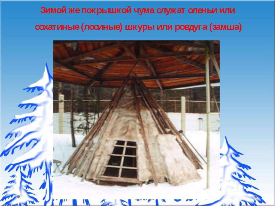 Зимой же покрышкой чума служат оленьи или сохатиные (лосиные) шкуры или ровду...