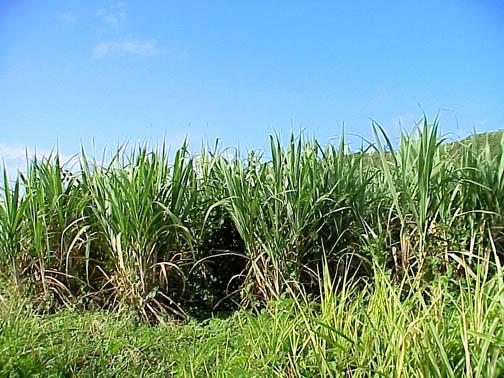 D:\Документы\станции для урока\sugarcane.jpg
