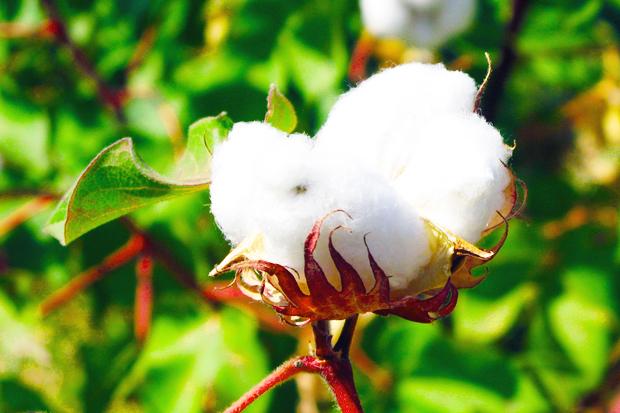 D:\Документы\станции для урока\Cheap-Alternatives-to-Cotton.jpg