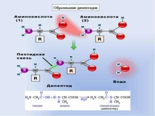 Образование дипептидов