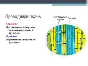 Проводящая ткань Строение: Клетки живые и мертвые, напоминают сосуды и трубоч