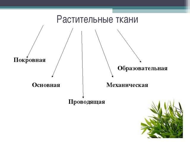 Растительные ткани Покровная   Образовательная   ОсновнаяМеханическа...