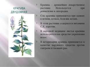 КРАПИВА ДВУДОМНАЯ Крапива – древнейшее лекарственное растение. Используется п