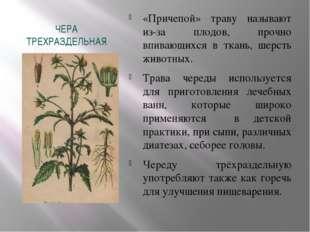 ЧЕРА ТРЕХРАЗДЕЛЬНАЯ «Причепой» траву называют из-за плодов, прочно впивающихс