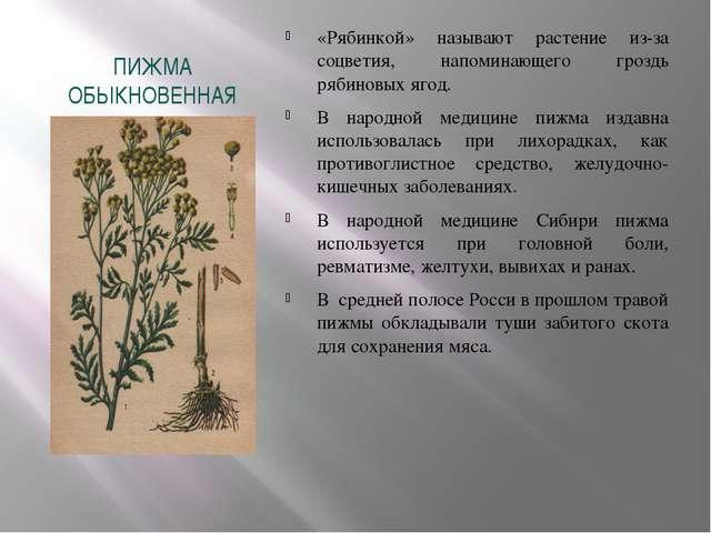 ПИЖМА ОБЫКНОВЕННАЯ «Рябинкой» называют растение из-за соцветия, напоминающего...