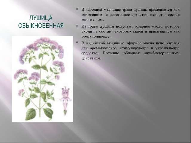 ЛУШИЦА ОБЫКНОВЕННАЯ В народной медицине трава душицы применяется как мочегонн...