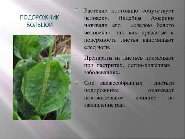 ПОДОРОЖНИК БОЛЬШОЙ Растение постоянно сопутствует человеку. Индейцы Америки н...
