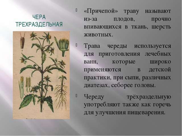 ЧЕРА ТРЕХРАЗДЕЛЬНАЯ «Причепой» траву называют из-за плодов, прочно впивающихс...