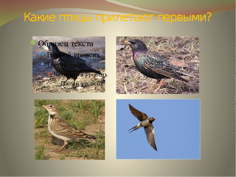 Какие птицы прилетают первыми?