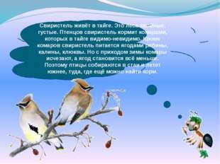 Свиристель живёт в тайге. Это леса хвойные, густые. Птенцов свиристель корми