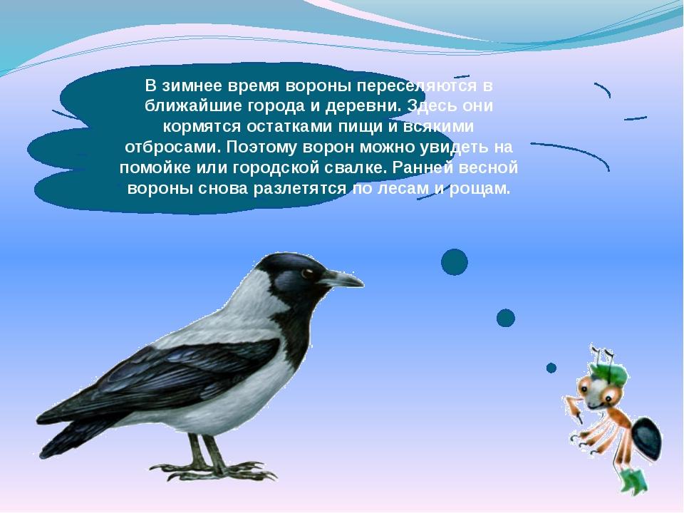 В зимнее время вороны переселяются в ближайшие города и деревни. Здесь они ко...
