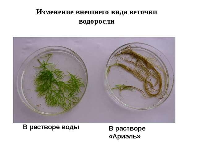 Изменение внешнего вида веточки водоросли В растворе воды В растворе «Ариэль»