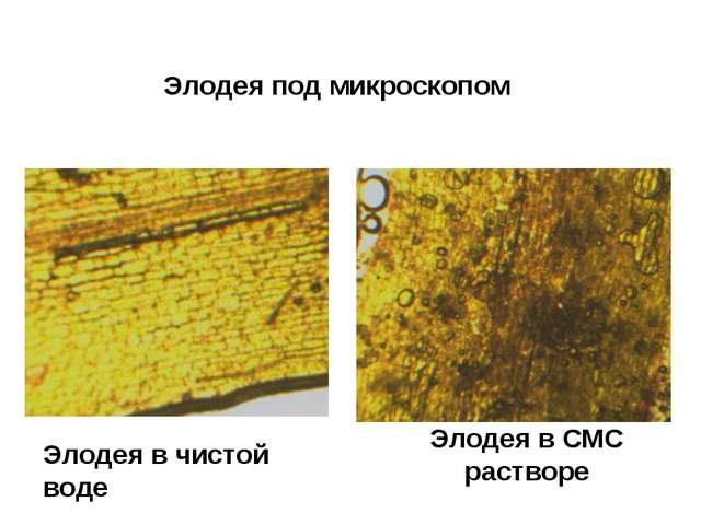 Элодея в чистой воде Элодея в СМС растворе Элодея под микроскопом