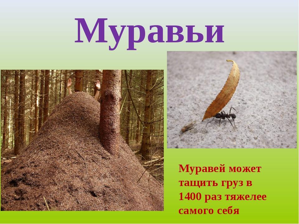 Муравьи Муравей Муравей может тащить груз в 1400 раз тяжелее самого себя