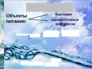 Объекты питания: бактерии одноклеточные водоросли