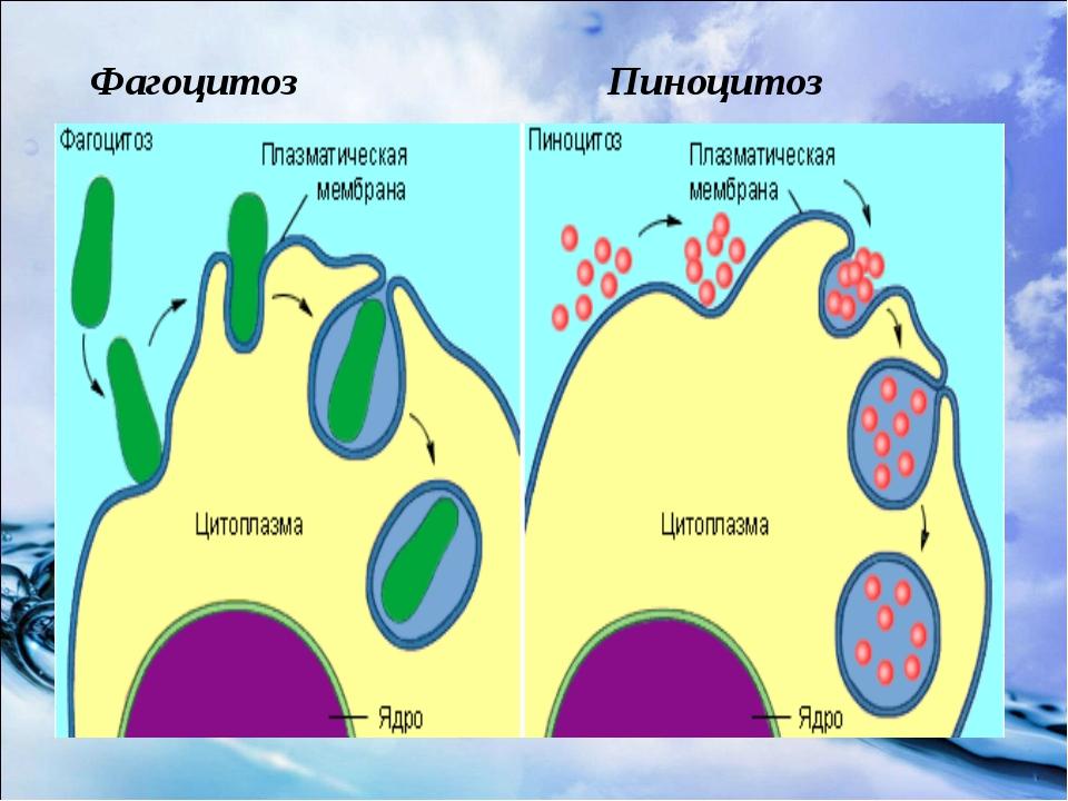 Фагоцитоз Пиноцитоз