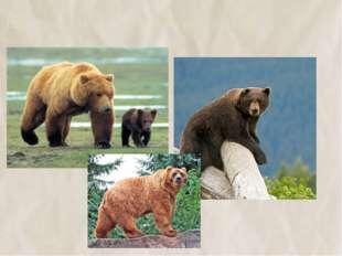 12. Гризли, аляскинский, балканский медведи –разные виды 